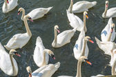 Bevy of Swans — Stock Photo