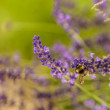 Bee Flying Around a Lavender Plant — Stockfoto