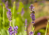 Bee Flying Around a Lavender Plant — Stock Photo