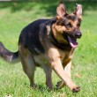 Stock Photo: Germshepherd dog