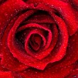 Stock Photo: Beautiful close up red rose