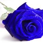 Blue rose isolated on white background — Stock Photo #16832717