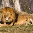Lion the king — Stock Photo #20711385