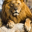 Lion the king — Stock Photo #20712585