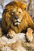 Lion the king — Foto Stock