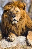 El rey león — Foto de Stock