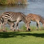 Zebra in Africa — Stock Photo #22199371