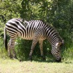 Zebra in Africa — Stock Photo #22199445