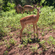Gazelles in Africa - Stockfoto