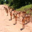 Gazelles in Africa — Stock Photo