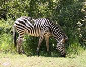 Zebra in Africa — Stock Photo