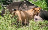 Lioness eating elephant — Stock Photo