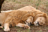 Skupina lev a lvice — Stock fotografie