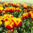 Colored tulip — Stock Photo