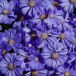 Background of lilac daisy - Stock Photo