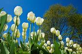 White tulip in villa taranto — Stock Photo