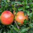 Ripe Colorful Pomegranate Fruit on Tree Branch. — Stock Photo #34401143