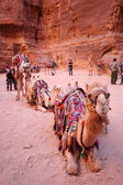 Bedouin camel — Stock Photo