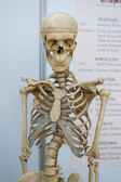 Artificial human skeleton — Stock Photo