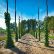 Stock Photo: Hop poles