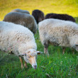 Herd of sheeps — Stock Photo #36288947