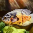 Oscar fish, Astronotus ocellatus, marble fish — Stock Photo