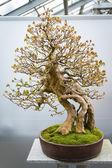 Bonsai tree Acer Buergerianum  — Stock Photo