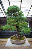 Bonsai tree pinus parviflora - Kokonoe — Stock Photo
