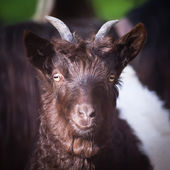 Alpen hairy goat — Stock Photo