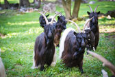 Alpen hairy goats — Stock Photo