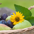 Wicker basket with plums and pears Wicker basket with plums and pears — Stockfoto