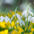 Flowering Snowdrops and Eranthis hyemelis in early spring — Stock Photo