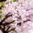 Flowering japanese cherry trees — Stock Photo