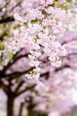 Flowering japanese cherry trees — Stock Photo