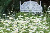 Daisies in a garden — Stock Photo