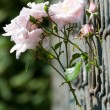 Pink roses growing through a fence — Stock Photo