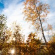 Birches in autumn — Stock Photo