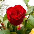 Red rose — Stock Photo #34145295