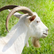 Goat on green background — Stock Photo