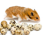 Hamster and quail eggs — Stock Photo