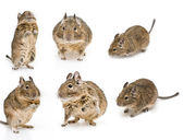 Rodents — Stock Photo