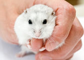 Dwarf hamster in the hand — Stock Photo