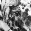 Stock fotografie: Dappled horse