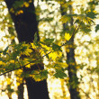 Maple leaves on the branch — Stock Photo