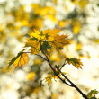 Maple leaves on the branch — Stock Photo #37572833