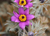 Pink pulsatilla patens — Stock Photo