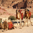 Camels — Stock Photo #13106474