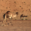 Camels — Stock Photo #29733939