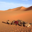 Camels — Stock Photo #30359723