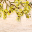 Branches of goat-willow - Stock Photo